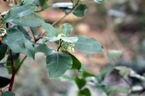 arbutus x andrachnoides 002.jpg