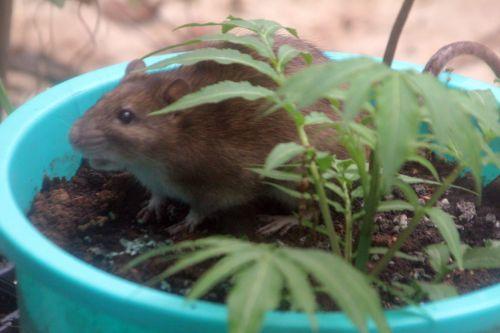 4 rat 27 avril 2012 046.jpg