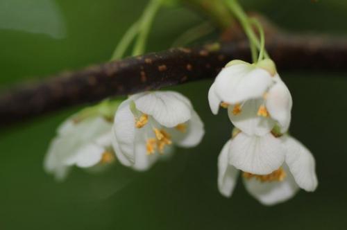 4 actinidia kolomikta mâle fl.jpg