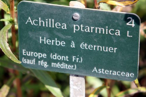 achillea ptarmica paris 21 juil 2012 179 (1).jpg