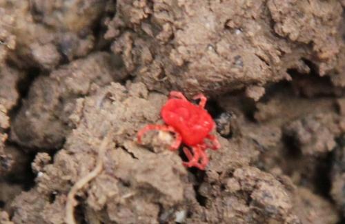 acarien rouge romi 15 avril 2015 123 (5).jpg