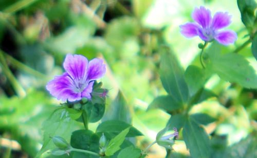 geranium nodosum 3 rec romi 14 juillet 2013 089.jpg