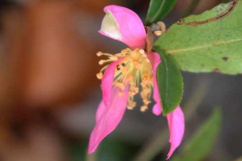 8 camellia sasanqua veneux 10 dec 2017 006 (1).jpg