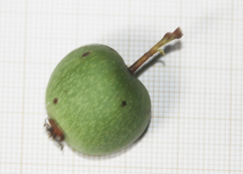 4 actinidia melanandra veneux 5 oct 2015 006 (2).jpg
