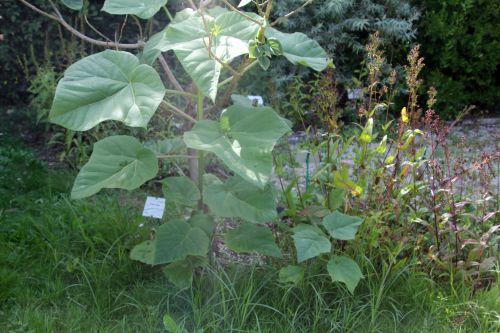 3 paulownia elongata marnay 22 juil  2012 067 (2).jpg