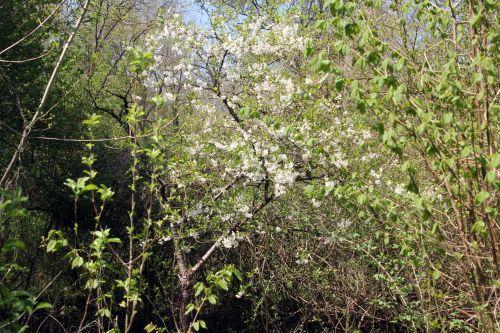 3 cerisier vieux romi 29 avril 2013 039 (1).jpg