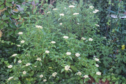 1 viburnum foetidum veneux 10 juil 2016 006 (1).jpg