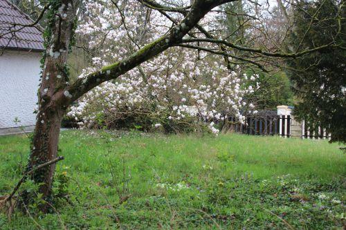 magnolia veneux 25 mars 2014 003.jpg