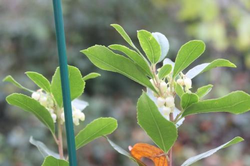 arbutus andrachnoides veneux 14 nov 2016 020 (2).jpg