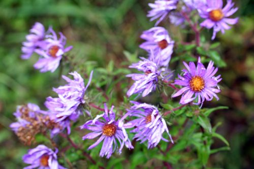 aster trifouilly 21 oct 001.jpg