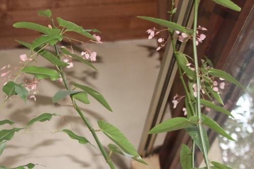begonia veneux 25 déc 2014 025.jpg