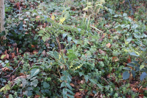 3 mahonia hivernant veneux 4 janv 2016 012.jpg