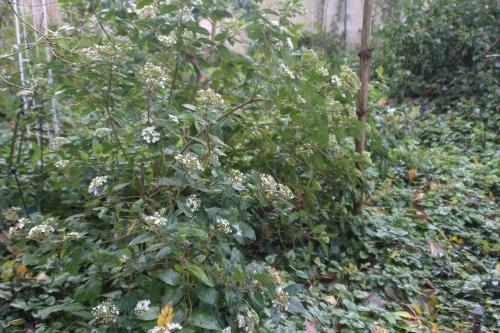 4 viburnum tinus veneux 12 nov 2017 017.jpg