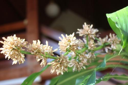 6 dracaena veneux 26 fev 2016 008 (2).jpg