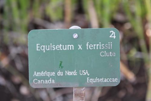 22 equisetum x ferrissii paris 31 janv 2015 060.jpg