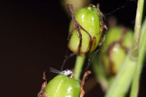 asphodèle fruit 21 juin 2010 011.jpg