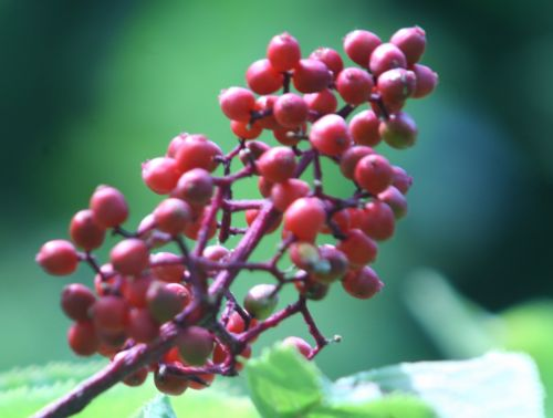 coreana 1 fruits romi 15 juin 2010 025.jpg