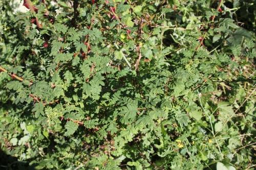 9 rosa pteracantha romi 2 août 2015 029 (2).jpg