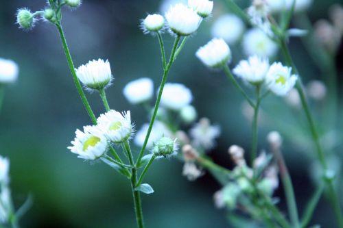 aster sauvage fleurs romi 1aoûi 2010 078.jpg