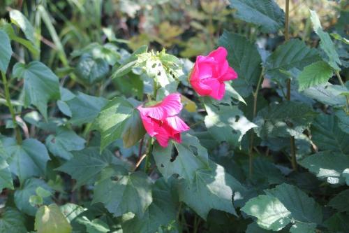 8 hibiscus mutabilis veneux 8 sept 2016 004 (1).jpg
