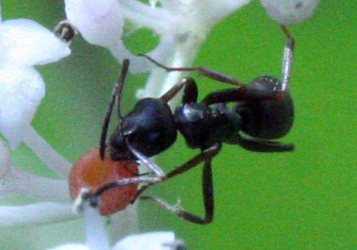 9 fourmi près romi 10 août 2010 019.jpg