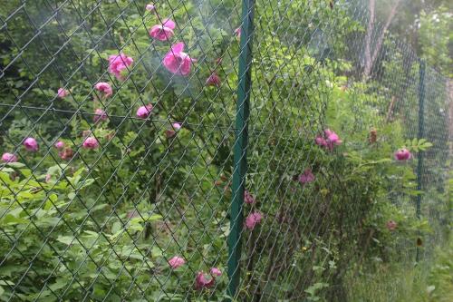 1 rosa rugosa romi 29 mai 2015 004.jpg