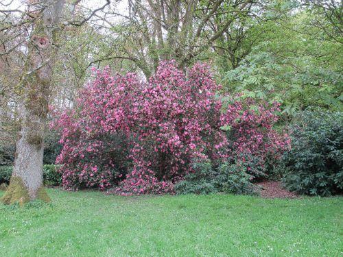 camellia1.jpg