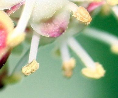 houx mâle pollen 3 mai 002.jpg