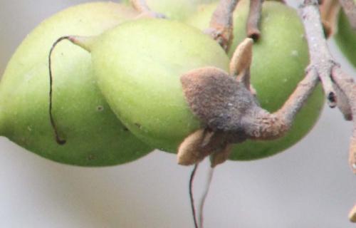 6 paulownia veneux 6 août 2015 fruit 004.jpg