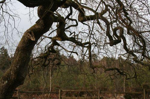 verzy chêne branches 13 janv 097.jpg
