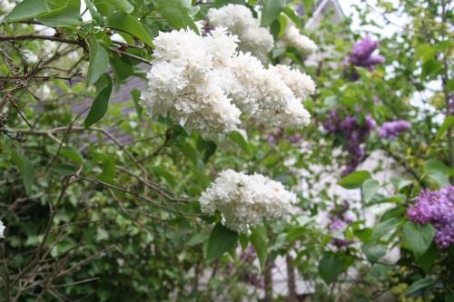 3 lilas blanc veneux 11 avril 004.jpg