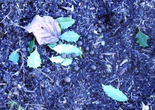 houx mangé crottes romi 17 janvier 015.jpg