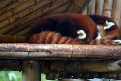 petit panda dodo 9 fev 154.jpg