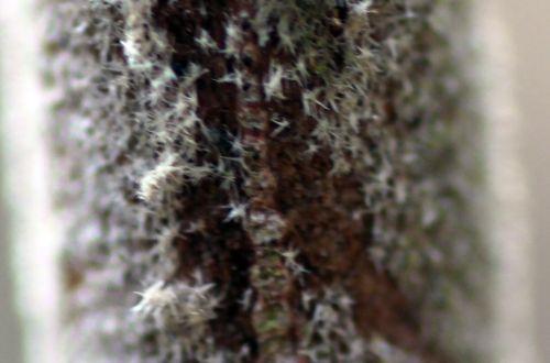 viburnum lantana poils romi 3 mars 2013 142.jpg