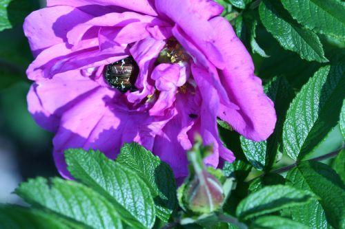 rosa romi 21 mai 152.jpg