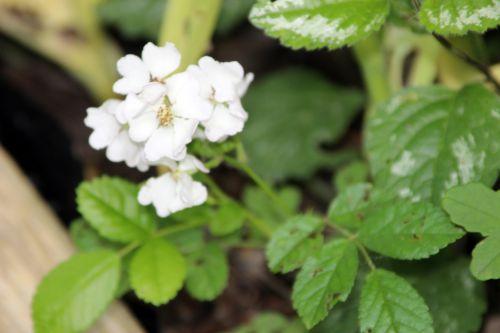 2 rosa multif semis romi 2 juin 2014 025 (3).jpg