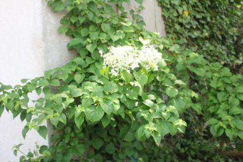 14 hydrangea petiolaris veneux 23 mai 2017 029.jpg