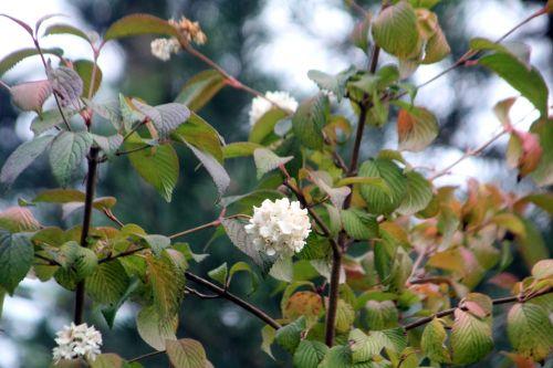 viburnum plic boule gb 21 oct 2012 336.jpg