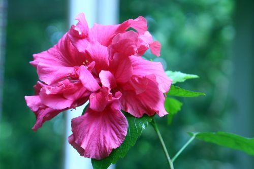 hibiscus 27 mai 002.jpg