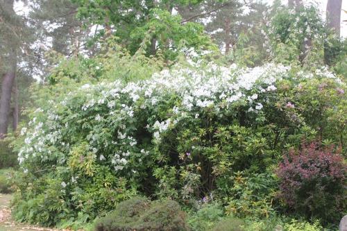 28 rosa helenae gb 14 juin 2015 131.jpg