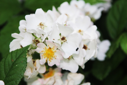 8 rosa multiflora romi 9 juin 2015 021 (4).jpg
