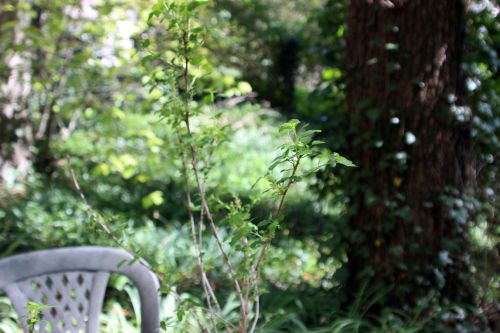 5 ribes alpinum femelle 17 avril 2014 032.jpg
