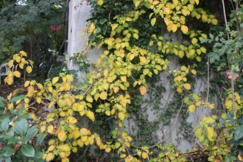 z hydrangea petiolaris veneux 22 oct 2015 002 (1).jpg
