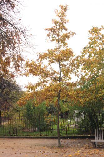 1 quercus acutissima paris 10 nov 2012 049 (2).jpg