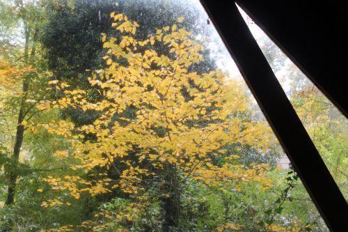 sorbus torminalis veneux 11 nov 2012 003.jpg