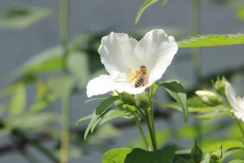 2 abeille veneux 9 juin 2016 003.jpg
