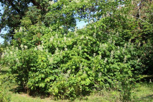 1 aesculus parviflora barres 27 juillet 2013 075.jpg