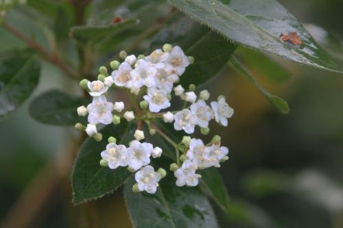 6 viburnum tinus veneux 12 nov 2017 019.jpg