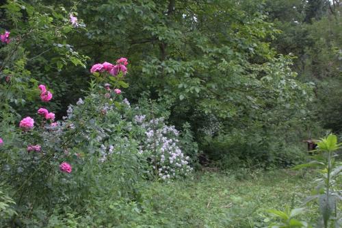 5 albert poyet + multiflora romi 9 juin 2015 102.jpg