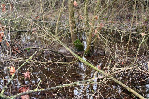arbres fraxinus eau romi 9 jan 005.jpg